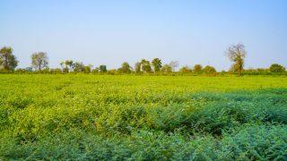 Grünes Kichererbsen-Feld