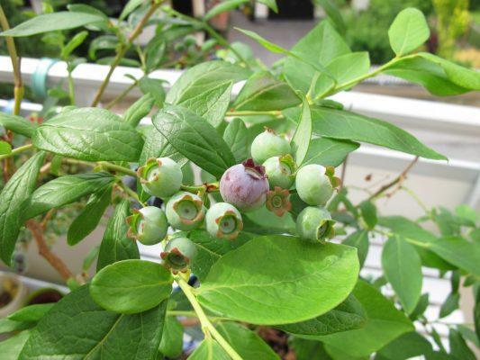 Heidelbeeren auf dem Balkon