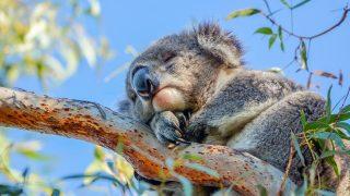 Koala-Schlaf