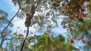 Koalas auf Liane im Dschungel