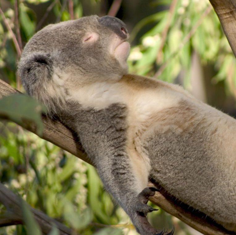 Koalas: Werden sie von Eukalyptus high?