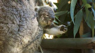 Koala Baby mit Mutter