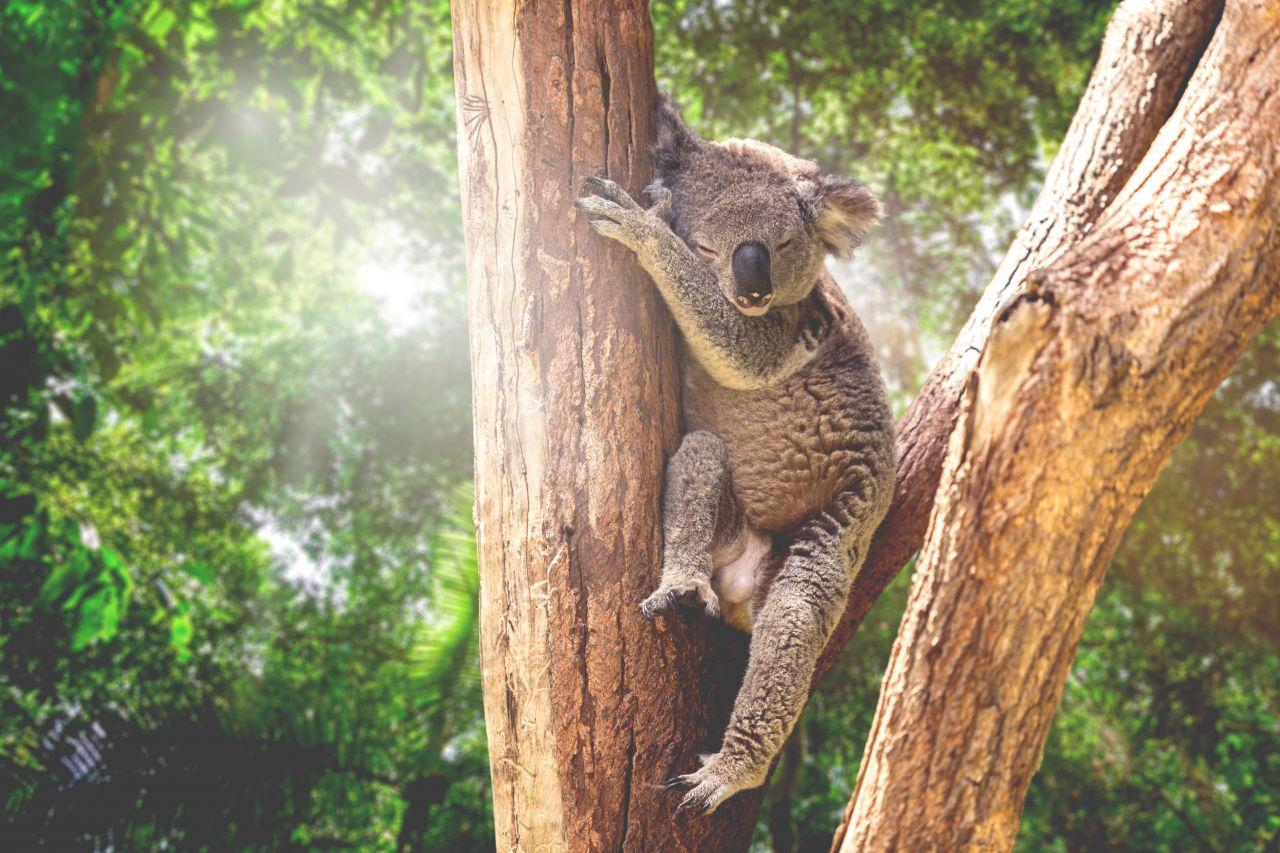 Koala schläft im Baum