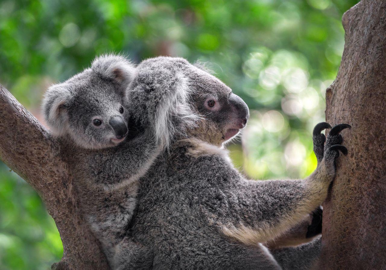 Koala Mutter und Baby