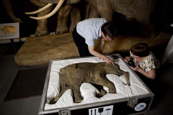 Baby-Wollmammut Untersuchung