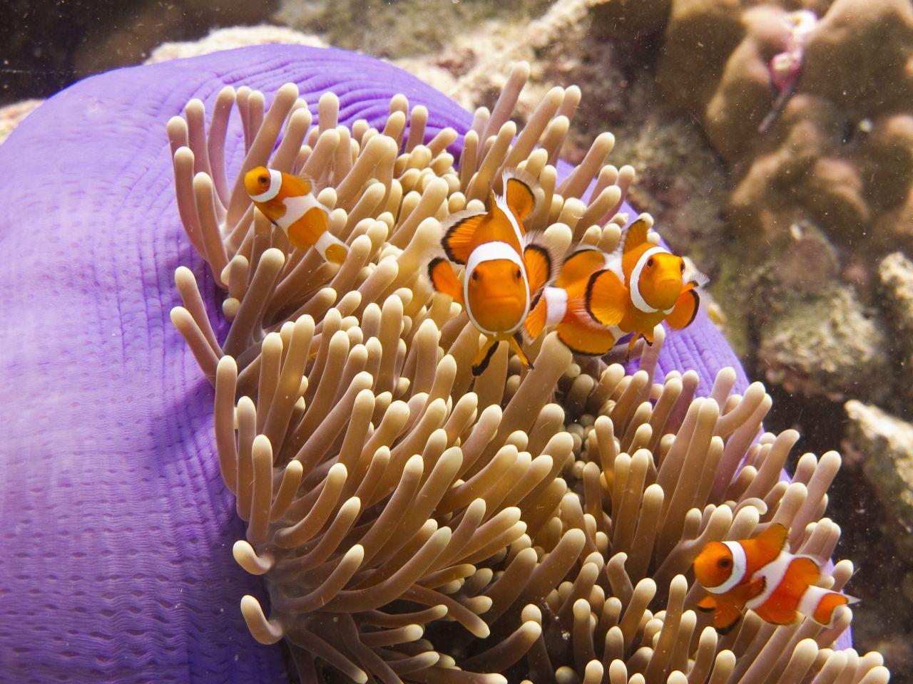 Symbiose zwischen Clownfisch und Anemone
