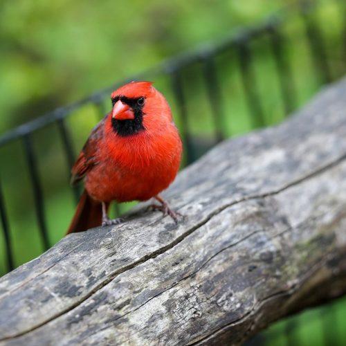 Im Mai hat dieser Vogel im Central Park in New York viel Ruhe. Wegen der Corona-Pandemie sind weniger Menschen unterwegs.