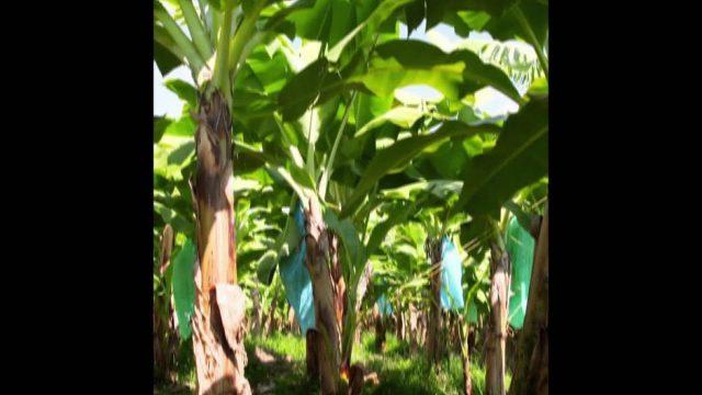 Bananen: 5 überraschende Geheimnisse - 10s