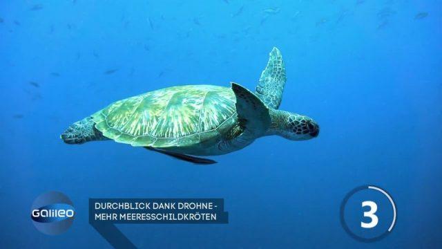 Durchblick dank Drohne: Mehr Meeresschildkröten am Great Barrier Reef