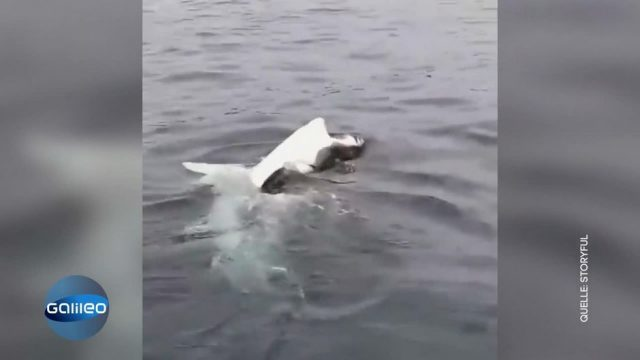 Hai schwimmt auf dem Rücken: Was ist mit ihm passiert?