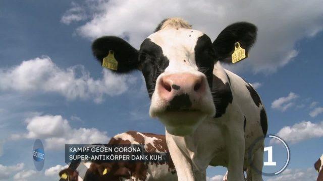 Kampf gegen Corona: Können Kühe Super-Antikörper produzieren?
