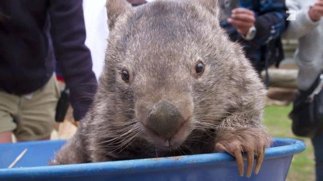 Rekordhalter: Patrick, der Riesenwombat aus Australien