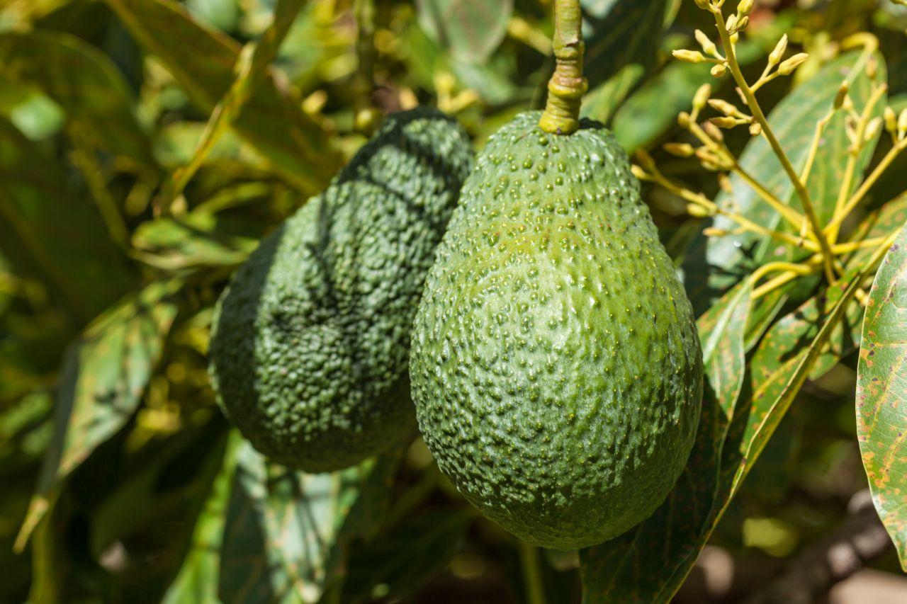 Avocados hängen an Baum
