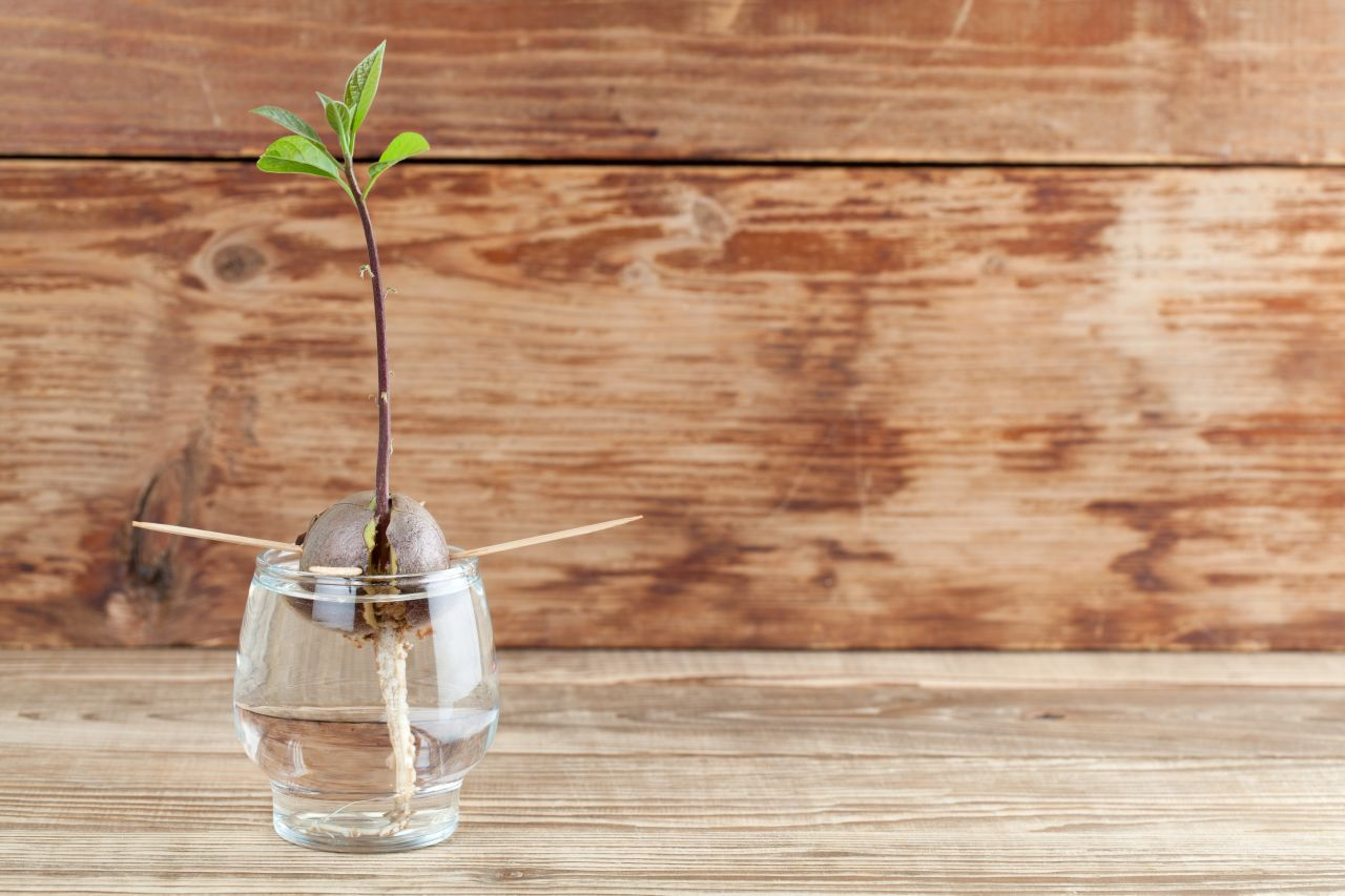 Avocado-Kern einpflanzen
