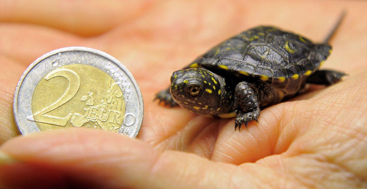 Europäische Sumpfschildkröte als Baby