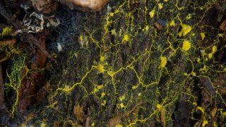 Blob Einzeller Pilze