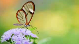 Durchsichtige Tiere: Glasflügler Schmetterling
