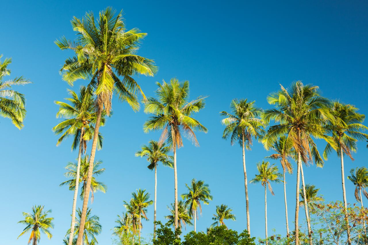 Kokos-Palmen am Strand