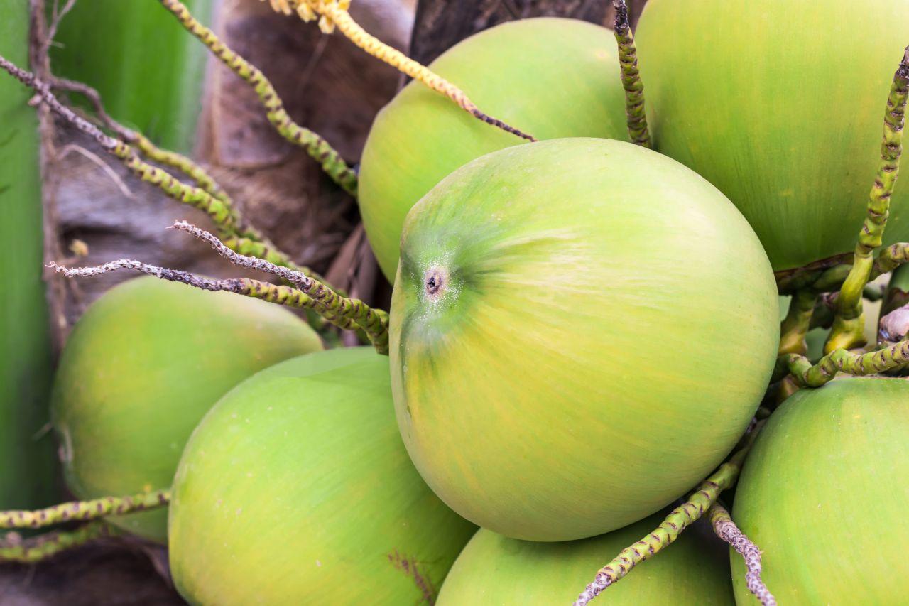 Kokosnuss grün als ganze Frucht