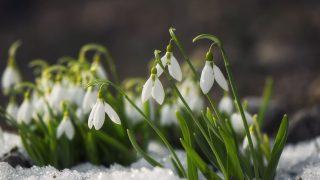 Schneeglöckchen schließen ihre Blüten aufgrund der Kälte.
