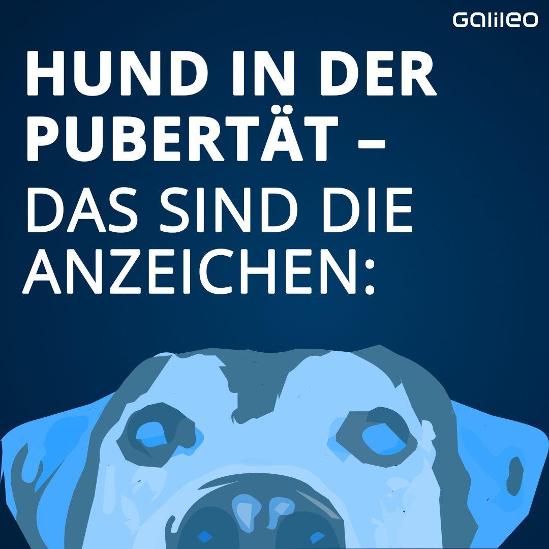 Anzeichen Pubertät beim Hund