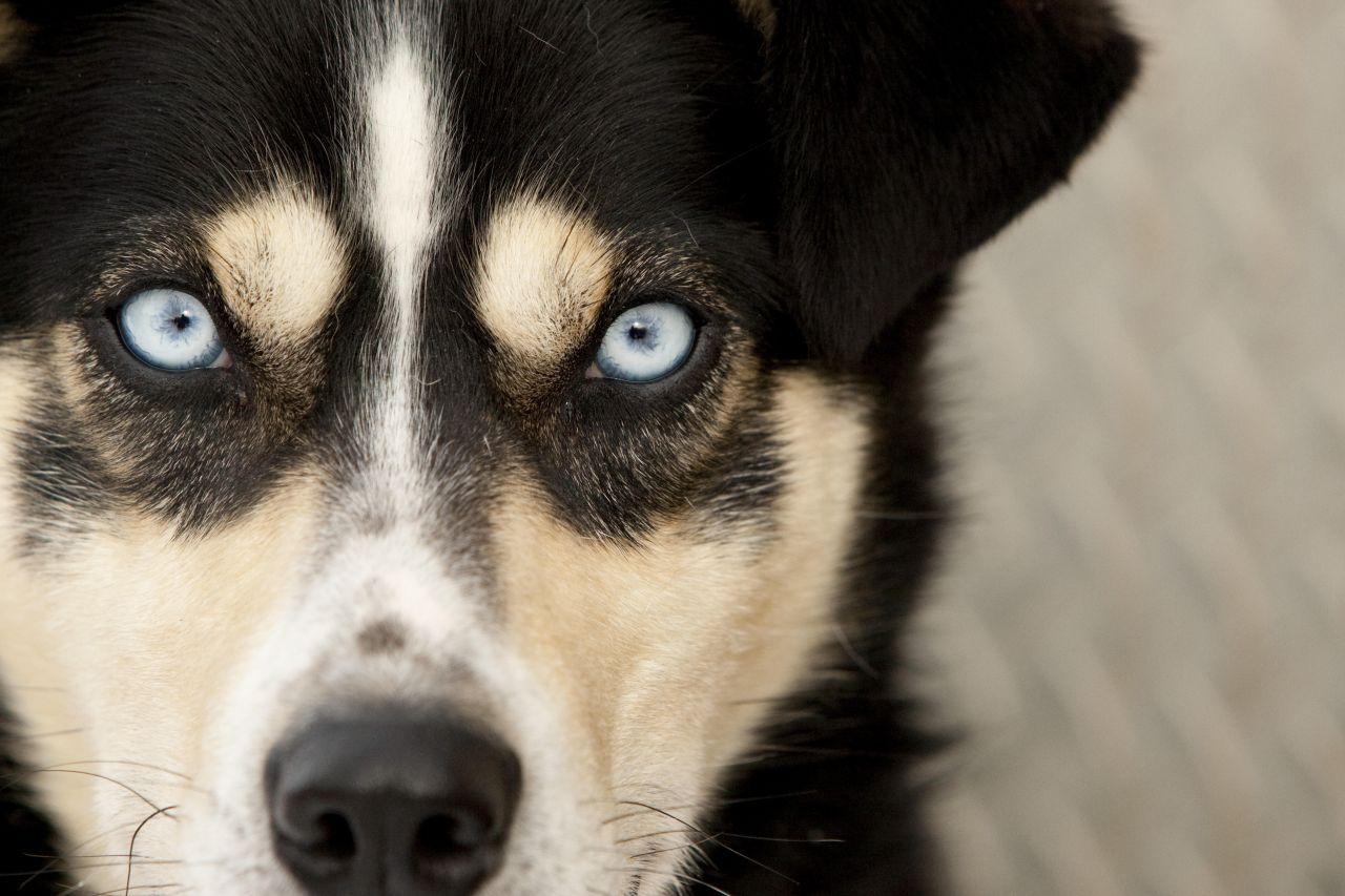 Auf der inneren Seite eines Hundeauges erkennst du die Nickhaut. Sie ist ein 3. Augenlid.