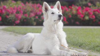Ein Hund mit hochstehenden Ohren ist aufmerksam.
