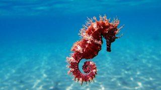 Rotes Seepferdchen im Mittelmeer