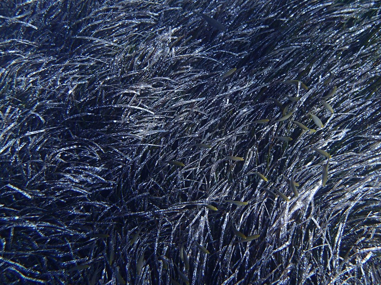 Neptungras braun im Herbst