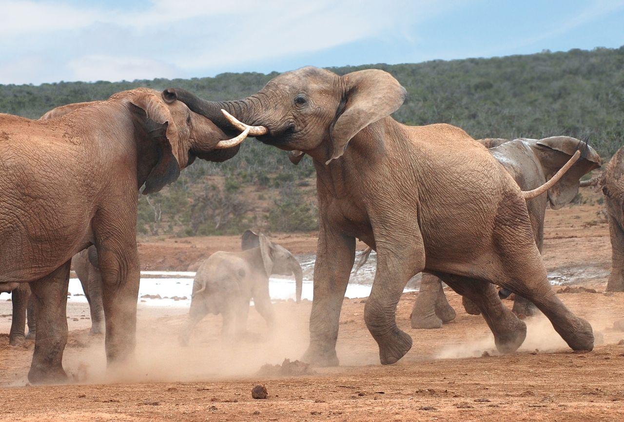 Elefanten kämpfen in der Pubertät