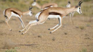 Gazelle springt