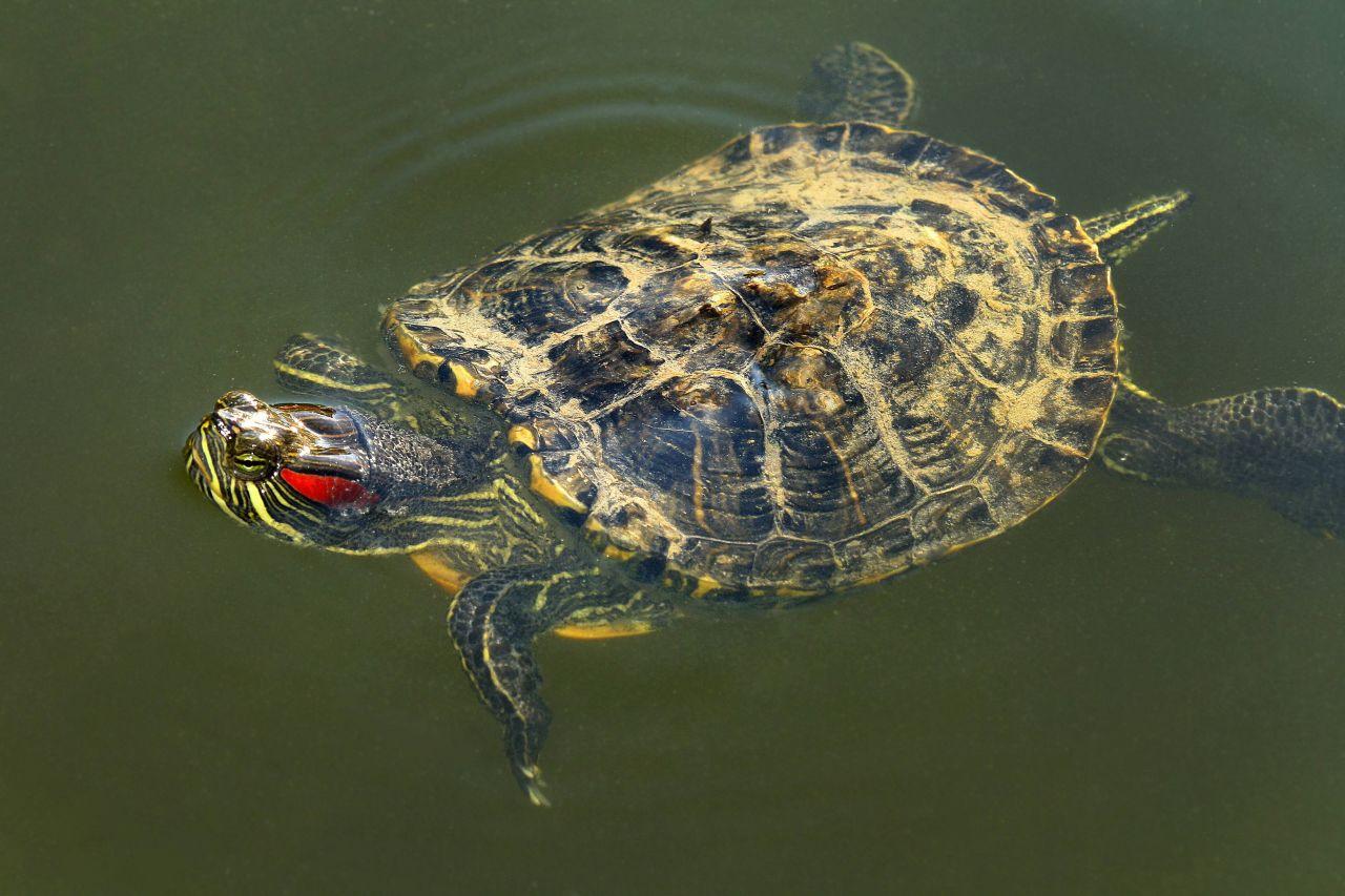 Rotwangen--Schmuckschildkröte