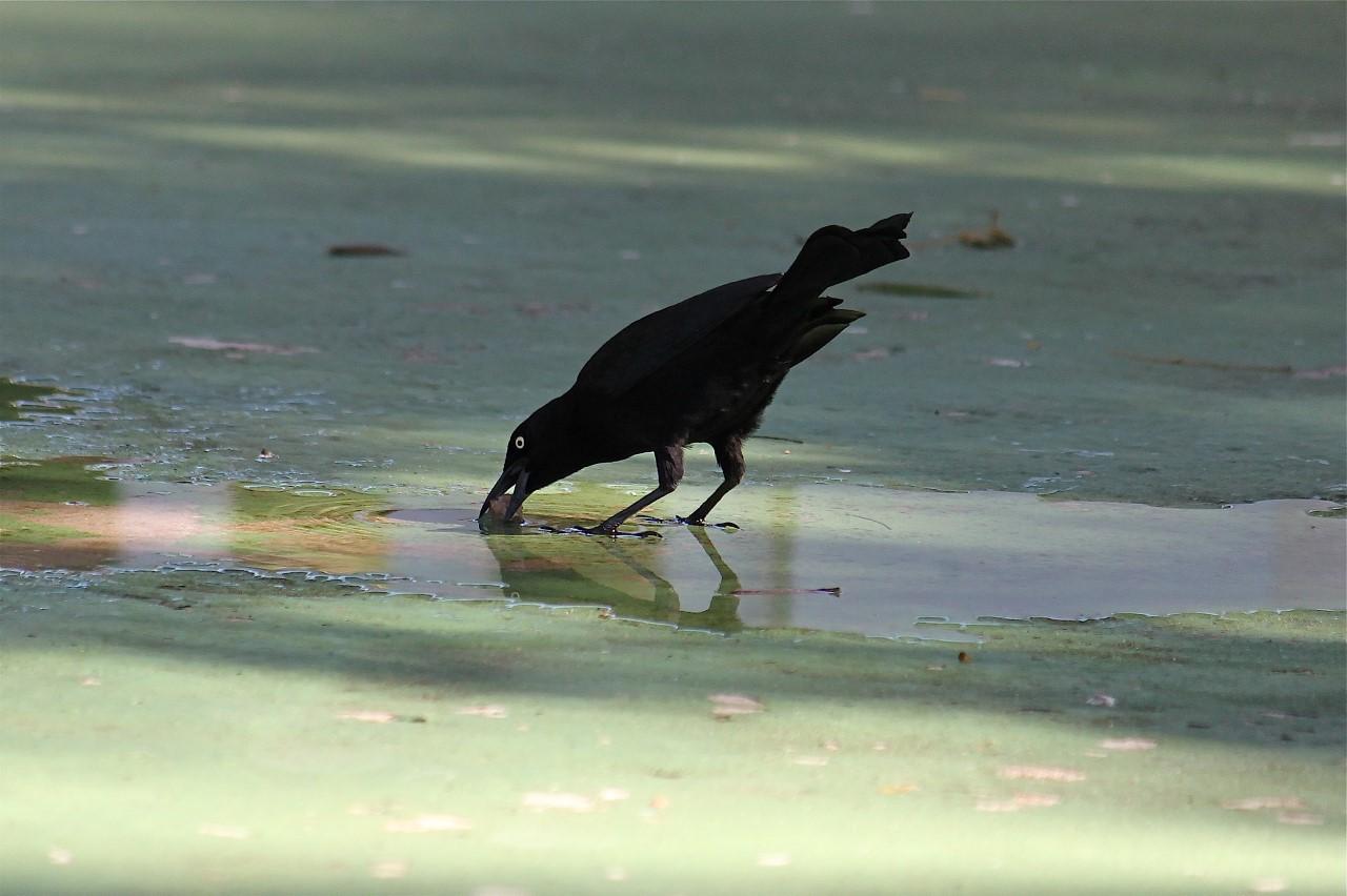 Schlauer Vogel weicht Futter auf.