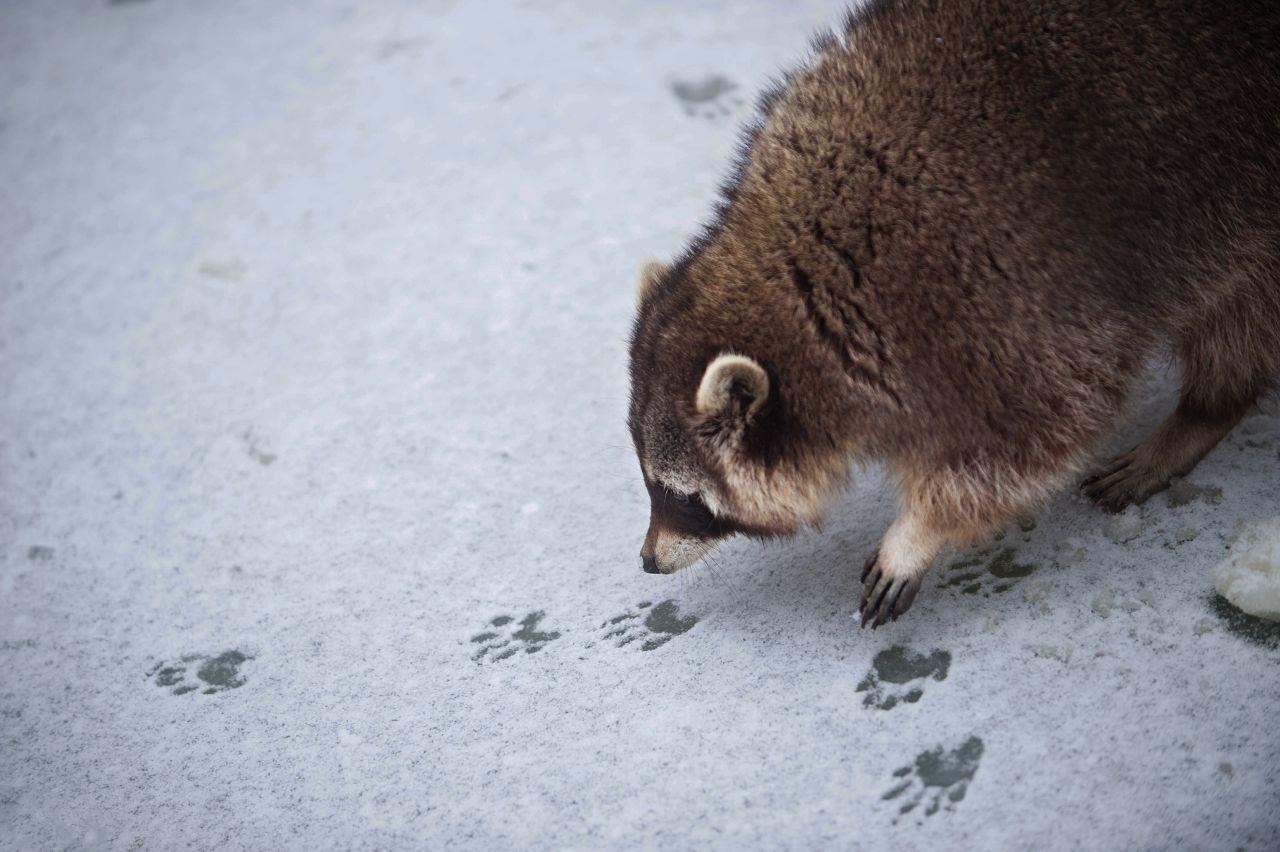 Waschbär im Schnee
