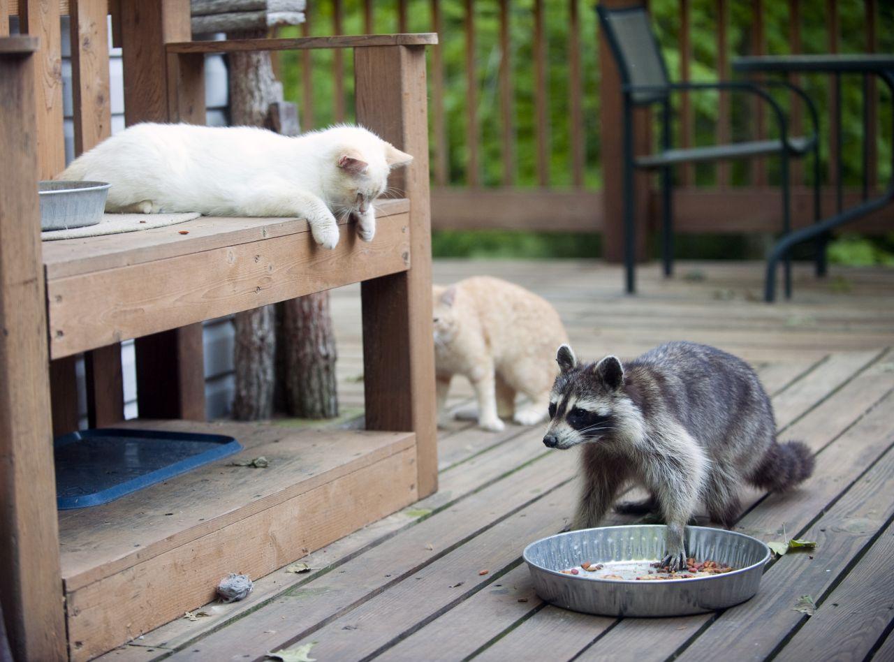 Waschbär und Katzen
