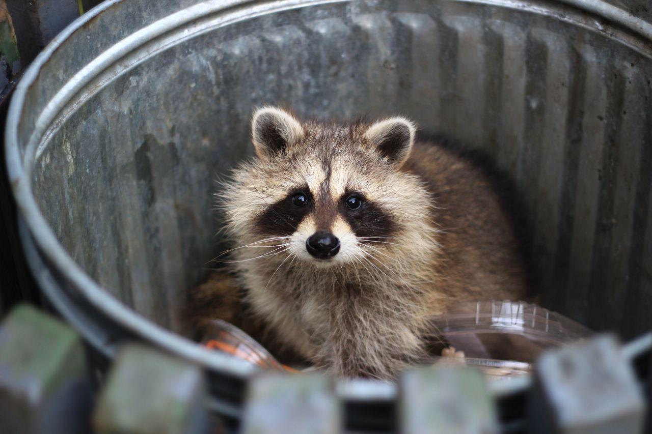 Waschbär im Mülleimer
