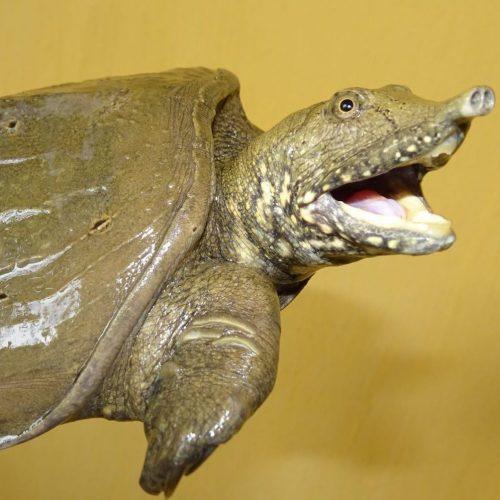 Neu entdeckte Schildkröte mit Rüssel