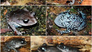 Ne entdeckter schwarz-bläulicher Frosch