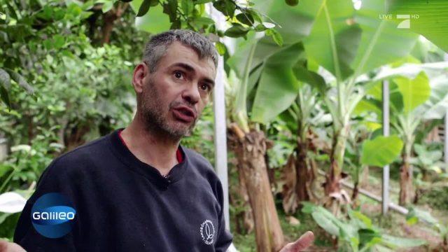 Islands einzigartige Bananenplantage