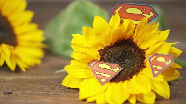 Superheld Sonnenblume: Wie man mit ihr Uran unschädlich macht