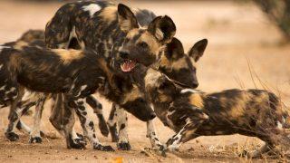 afrikanische Wildhunde niesen zur Kommunikation