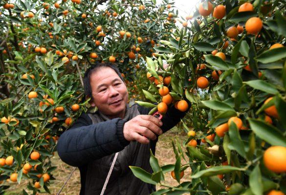Kumquat-Ernte