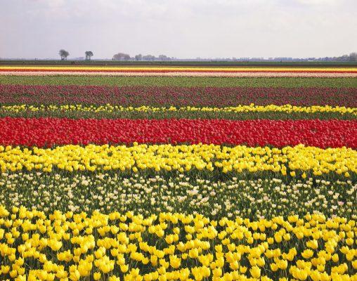 Ein Tulpenfeld in den Niederlanden.