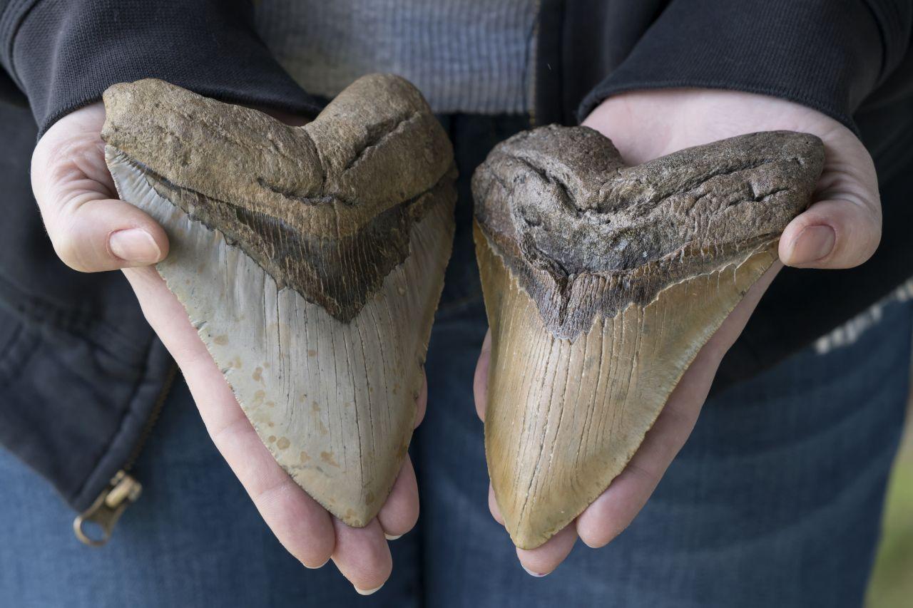 Zähne des Megalodon