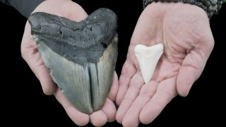 Zahn vom Weißen Hai und Megalodon
