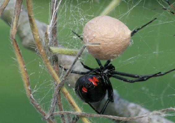 Schwarze Witwe mit Ei