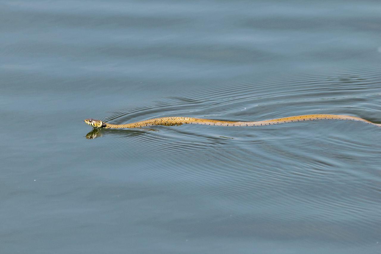 Ringelnatter: Sie hält sich oft in der Nähe von Gewässern auf. Du erkennst sie an dem halbmondförmigen gelben Fleck am Kopf. Zudem kann sie sich - wie der Name schon verrät - wunderbar zusammenringeln.