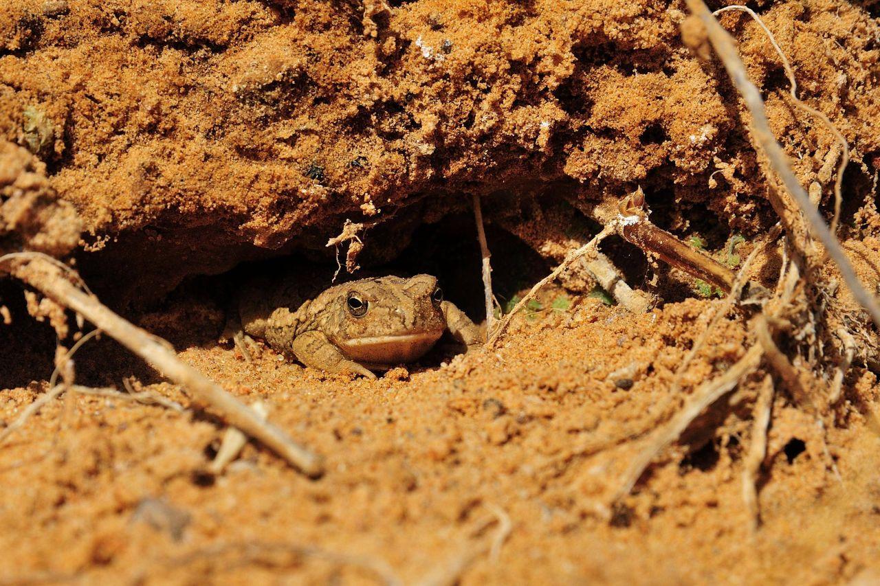 Berberkröte in Erdloch