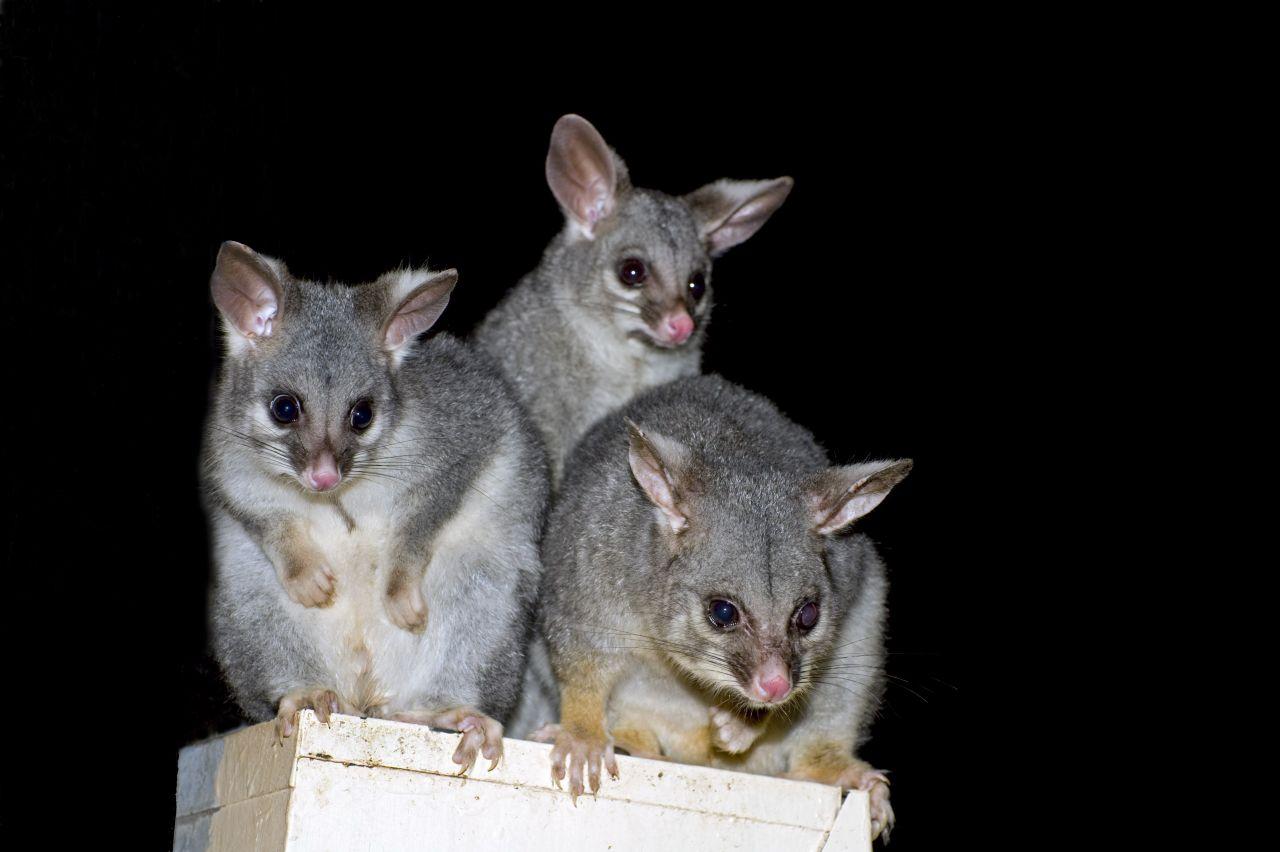 Australischer Fuchskusu