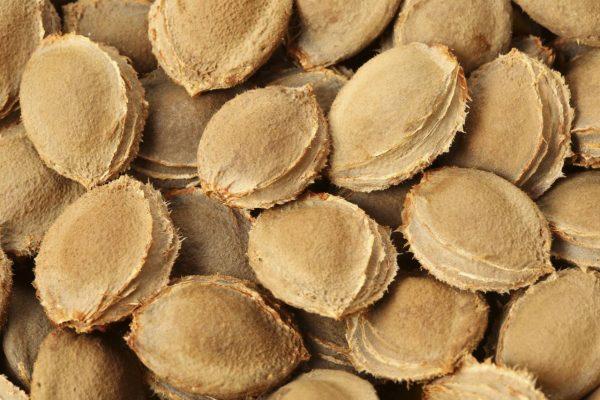 Bitte nicht mitessen: die Kerne von Steinobst wie Aprikosenkernen